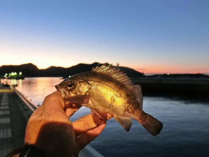 坊勢島メバリングで良型メバルが釣れました
