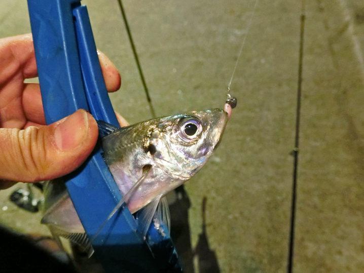 坊瀬島アジングでアジが釣れ始める