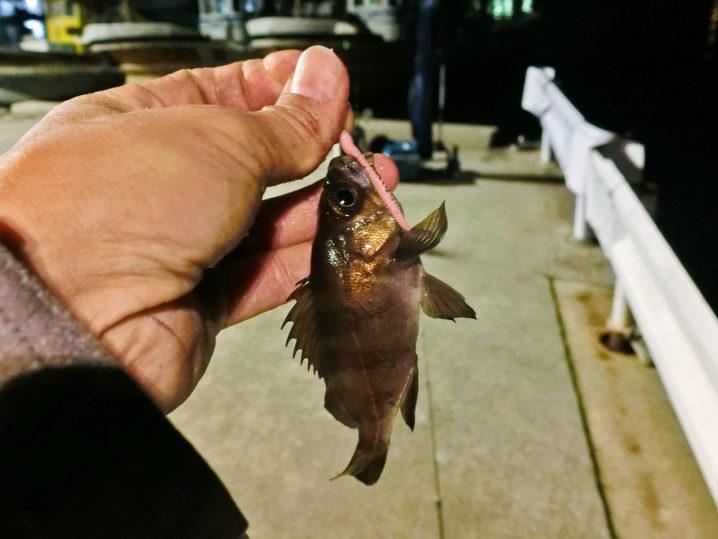 坊瀬島アジングをしているとメバルも釣れました