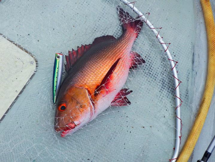 パラオGT釣り2匹目はレッドスナッパー(バラフエダイ)