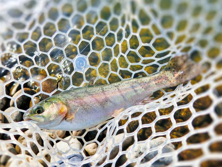 北方川釣り体験場でフェザージグを使い初のニジマスを釣り上げる