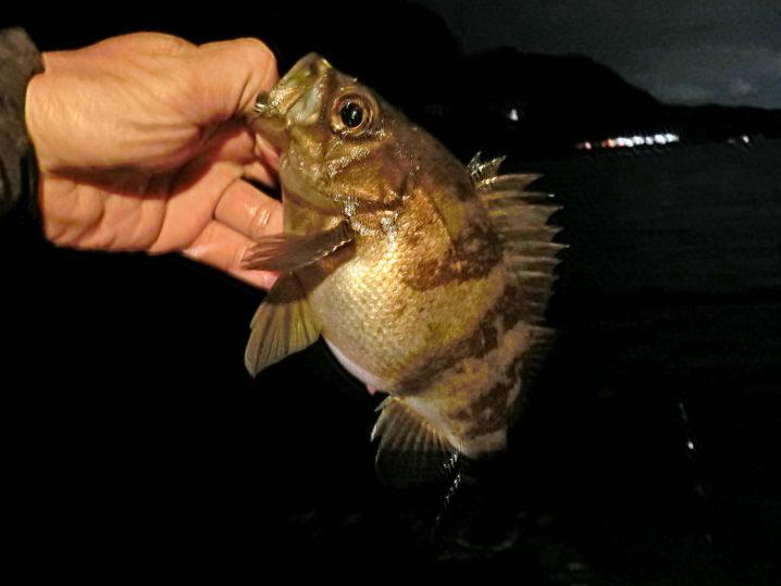 エコギアアクアで釣ったメバル