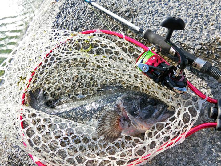爆釣美浜フィッシングパークで遂にルアーでクロソイが釣れ始めた