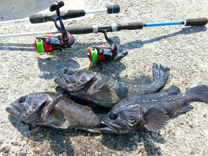 2月下旬爆釣美浜フィッシングパークでのルアーを使ったクロソイの釣果