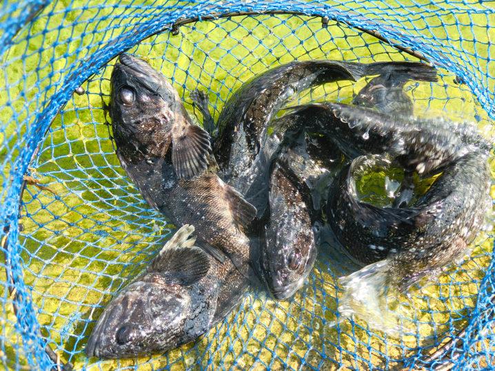 2月下旬爆釣美浜フィッシングパークでのルアーを使った友人を含めたクロソイの釣果2