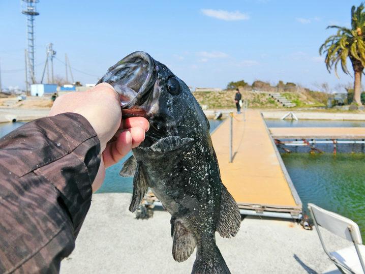 爆釣美浜フィッシングパークでのルアー釣りでクロソイが連続ヒット2