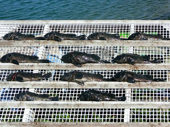 2月下旬爆釣美浜フィッシングパークでのルアーを使った友人を含めたクロソイの釣果1