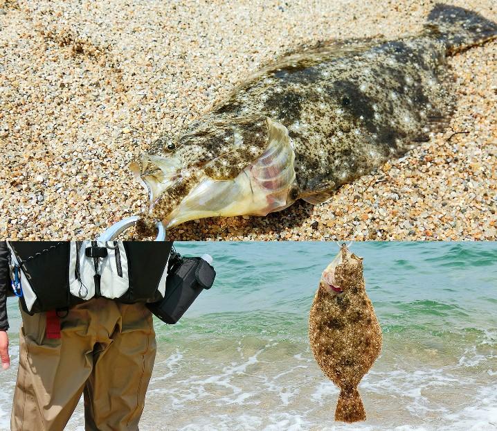 5月の鳥取サーフヒラメ釣りの釣果