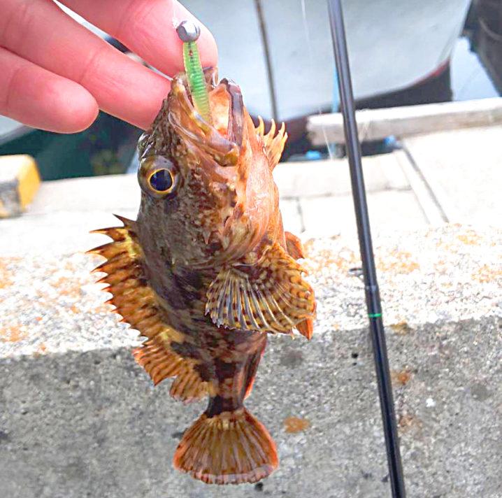 午後2時頃に淡路島東部の釣り場に到着、小メバルと小ガシラがポロポロ釣れる