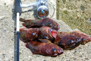 ガシラ(カサゴ)の穴釣り入門|初心者向けタックル・ルアー・釣り方紹介