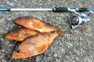 アコウ(キジハタ)ルアー釣り入門|初心者向けタックル・ルアー・釣り方紹介