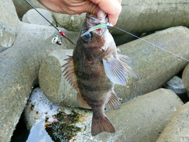 最後に本日最大の26センチUPのメバルを釣り上げこの日のデイメバリング終了