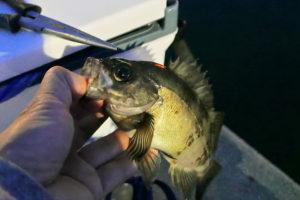 6月上旬坊勢島メバリングで20UP含む好釣果|良型を釣る為のヒットパターンとルアーの使い方を紹介