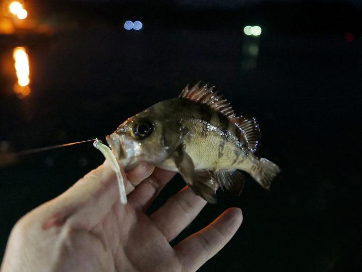 釣れ釣れグリーンで次々メバルをゲット!