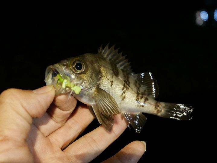 メバルのサイズが上がらないのでシャローエリアで釣ってみる