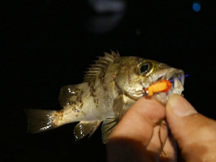 メバルのサイズが上がらないのでシャローエリアで釣ってみる2