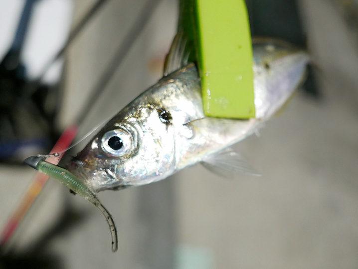 次のポイントではアジは釣れるものの活性が低い&サイズダウン