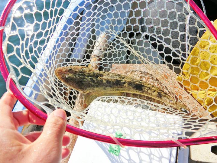 ルアーで釣る6月下旬愛知県知多半島のマゴチ釣果