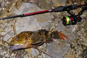 6月下旬南淡路チニング釣行で27cm含むガシラ・ソイが爆釣!何故チヌが釣れず根魚が釣れたのか?の考察も