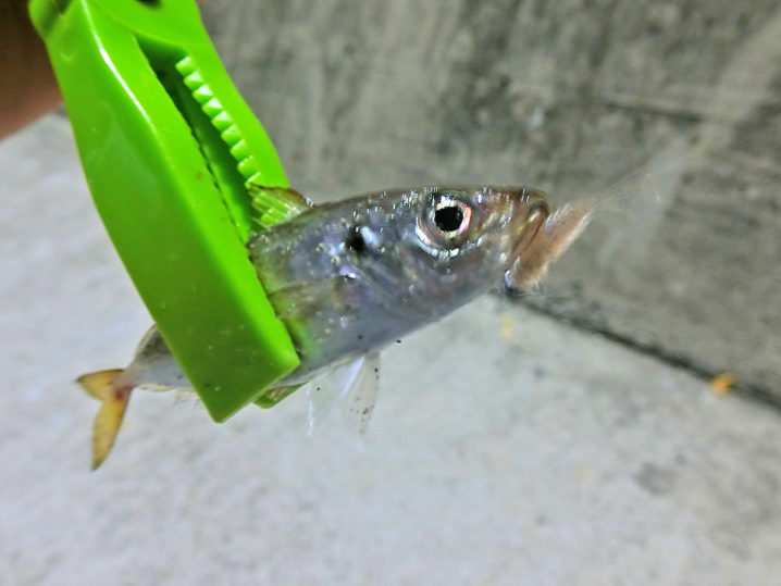 釣れ釣れグリーンとアジリンガーどちらが釣れるか検証しました2