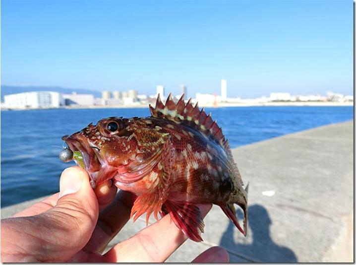 11月になると穴釣りでガシラやソイが本格的に釣れだします