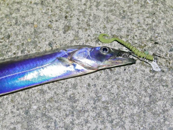 やっと釣り方のコツを掴みコンスタントにタチウオが釣れ始める