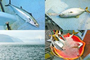 11月22日福井オフショアジギングでハマチ・サゴシ爆釣!トッププラグとシンキングペンシルの釣れ方の違いも紹介