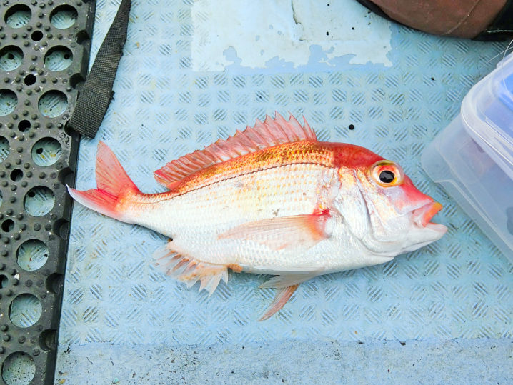 2匹のレンコ鯛が釣れるものの真鯛は釣れず