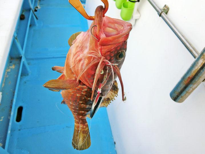 【インチク】で良型のアコウ(キジハタ)を釣り上げる!