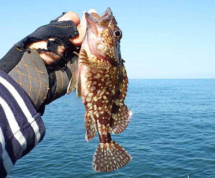 ガシラ・ソイのルアー釣りも本格シーズンイン