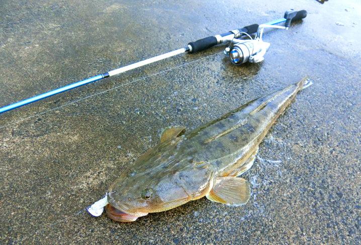 マゴチのルアー釣りは6月が一番釣れます
