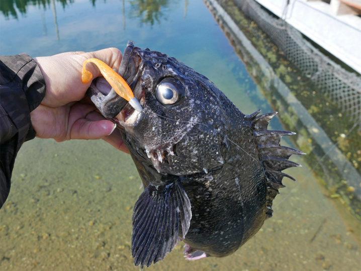 2匹目のクロソイは超ロングシェイキングで釣り上げる!