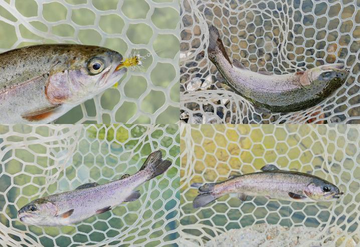 芥川マス釣り場での釣果