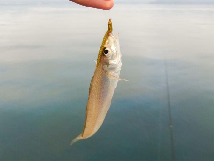 アオリイカもフラットフィッシュも釣れないのでキスを釣り始める