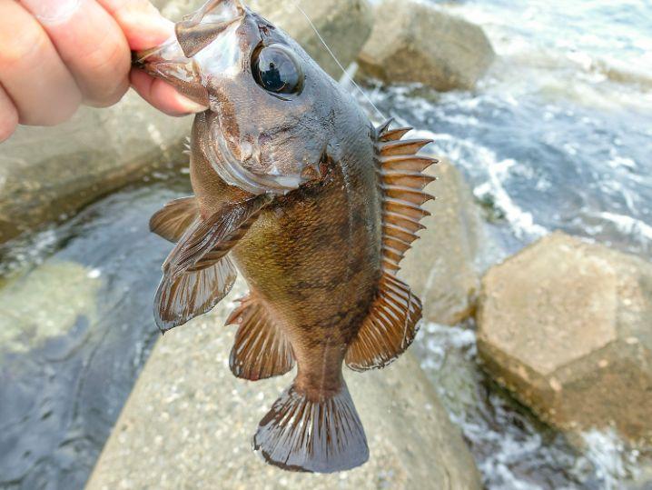 遂に一番の本命、23センチのメバルを釣り上げる!