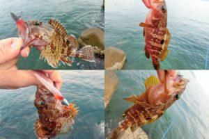 6月中旬福井根魚ルアーキャスティングでガシラ・アコウ(キジハタ)がヒット!釣れたルアーと釣り方を紹介