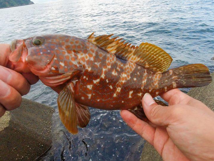2020年8月上旬福井アコウ(キジハタ)遂に開幕!ヒットルアー・釣り方・今年の今後の釣れ方予想を紹介