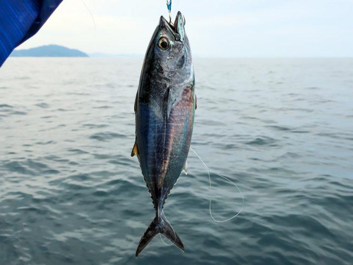 ファーストヒットはヨコワ(マグロの幼魚)
