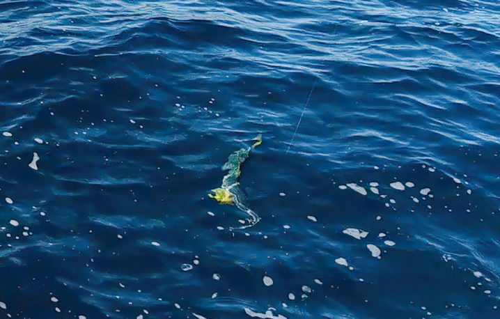 釣れ釣れさんがヒラマサを釣り上げる!