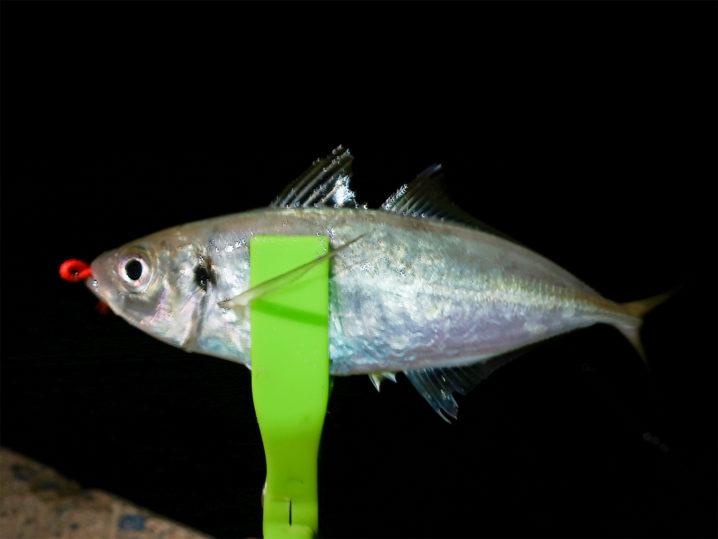 2時間ほどアジを釣って釣って釣りまくって終了2