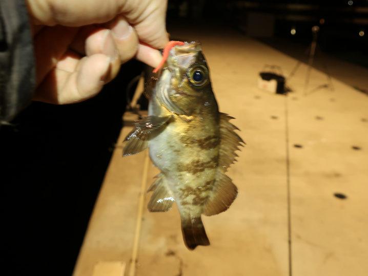 最後に防波堤で大きめのメバルを2匹釣る