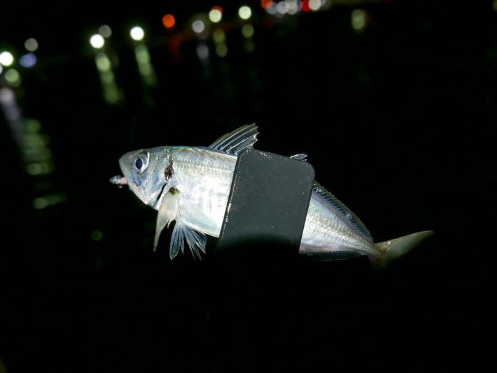 なかなか乗らない中、遂に小島養漁場初アジをゲット!