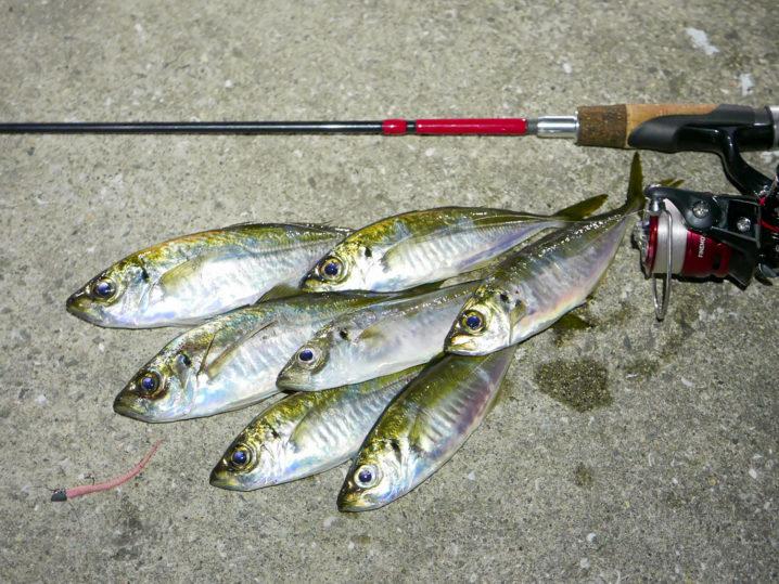 4月中旬小島養漁場アジング釣果