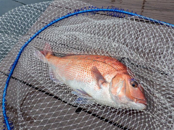 最初に釣れたのは立派な真鯛