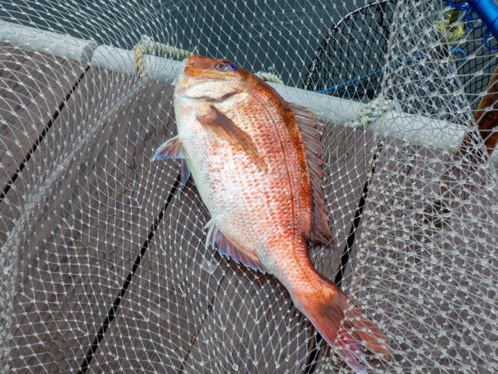 エサを青イソメに変更して真鯛を連続で釣り上げる!