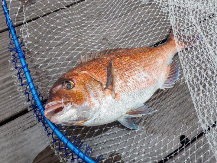 エサを青イソメに変更して真鯛を連続で釣り上げる!2