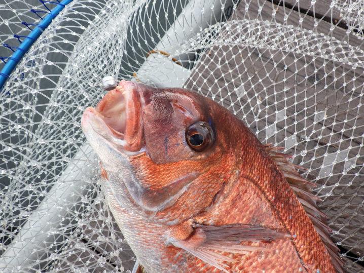 キビナゴでも釣れるのは真鯛でした