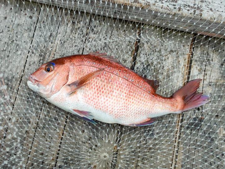 釣り終了間際にザリガニで真鯛1匹を釣り上げ釣り終了