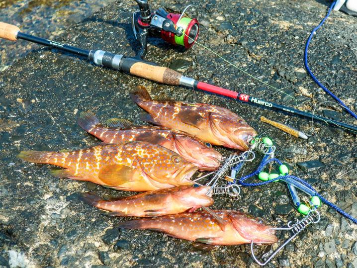 7月下旬のアコウ(キジハタ)釣行の釣果