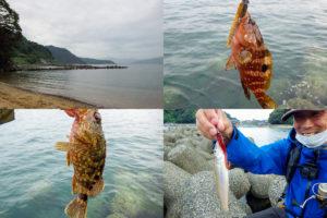 8月中旬福井アコウ・根魚ルアー釣行|台風直後でも好釣果となった釣り方とルアーを紹介